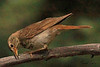 A Hermit Thrush taken July 1, 2010 near Cimmaron, CO.