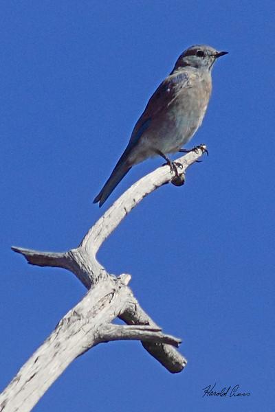 A Mountain Bluebird taken Sep 28, 2010 in Yellowstone National Park, WY.