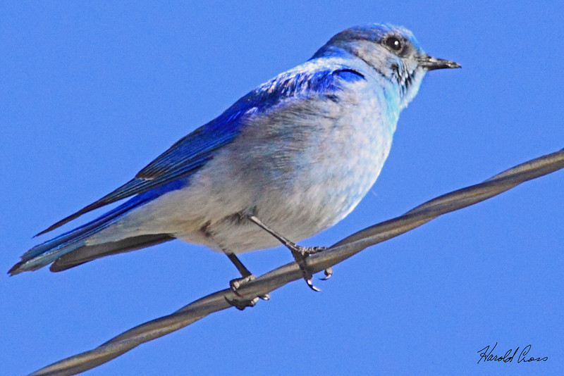 A Mountain Bluebird taken Mar 23, 2010 near Fruita, CO.