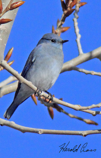 A Mountain bluebird taken in Fruita, CO in Dec 2009.