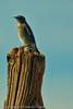 A Mountain Bluebird taken Oct. 12, 2011 near Fruita, CO.