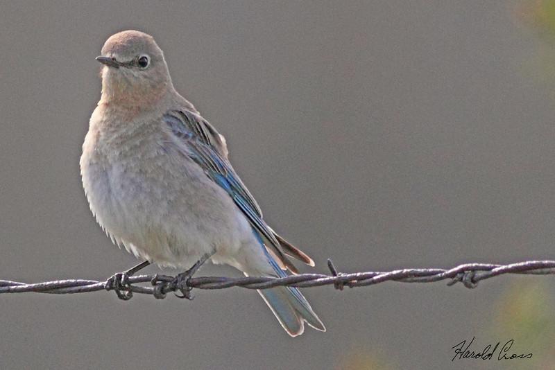 A Mountain Bluebird taken May 25, 2010 near Bozeman, MT.