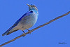 A Mountain Bluebird taken Mar 23, 2010 near Fruita, CO.