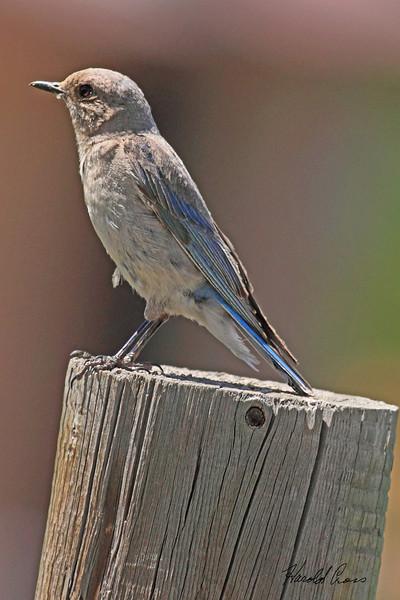 A Mountain Bluebird taken Jul 13, 2010 near Colbran, CO.