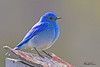 A Mountain Bluebird taken May 25, 2010 near Bozeman, MT.
