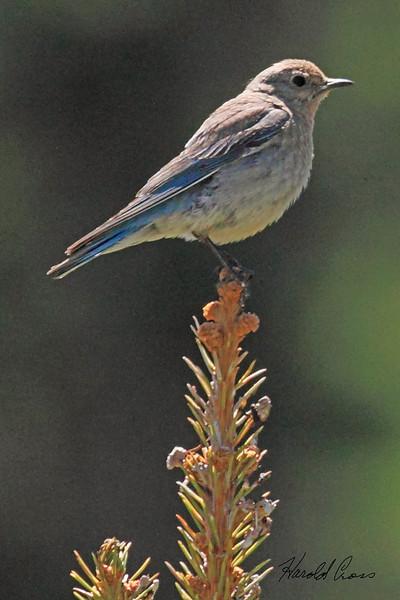 A Mountain Bluebird taken July 4, 2010 near Cimmaron, CO.