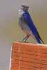 A Mountain Bluebird taken Jul 13, 2010 near Colbran, CO.
