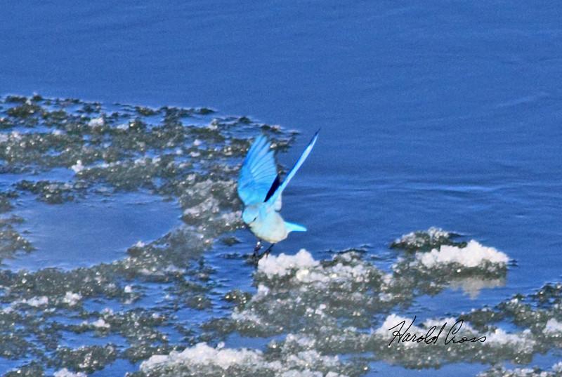 A Mountain Bluebird taken Jan 7, 2010 in Fruita, CO.