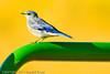 A Mountain Bluebird taken Sep. 2, 2011 near Fruita, CO.