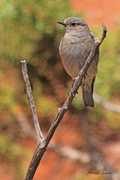 A Mountain Bluebird taken Jun 14, 2010 near Fruita, CO.