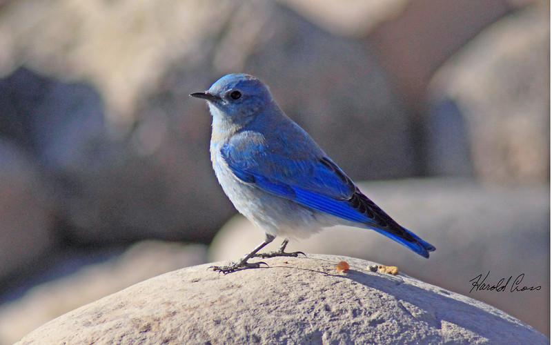 A Mountain bluebird male taken in Fruita, CO in Dec 2009.