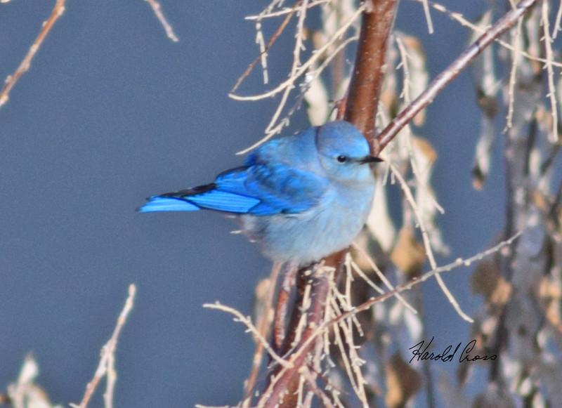 A Mountain Bluebird taken in Fruita, CO on 13 Jan 2010.