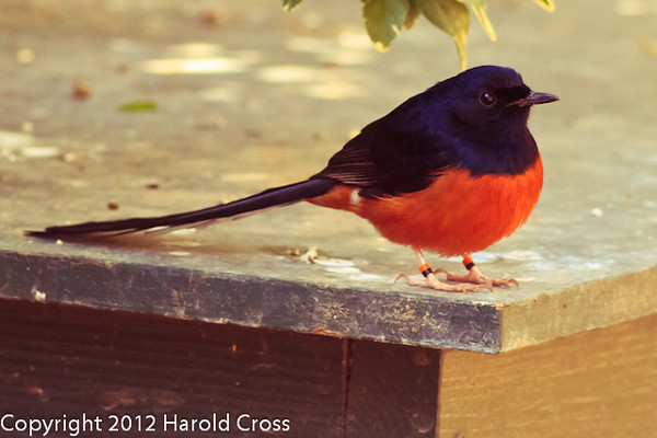 A Shama Thrush taken Feb. 20, 2012 in Tucson, AZ.