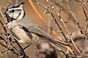 A Bridled Titmouse taken Feb 15, 2010 in Madera Canyon, AZ.