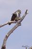 An Ash-throated Flycatcher taken May 19, 2010 near Fruita, CO.