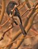 A Black Phoebe taken Feb 4, 2010 in Gilbert, AZ.