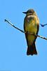 A Cassin's Kingbird taken July 13, 2011 near Las Vegas, NM.