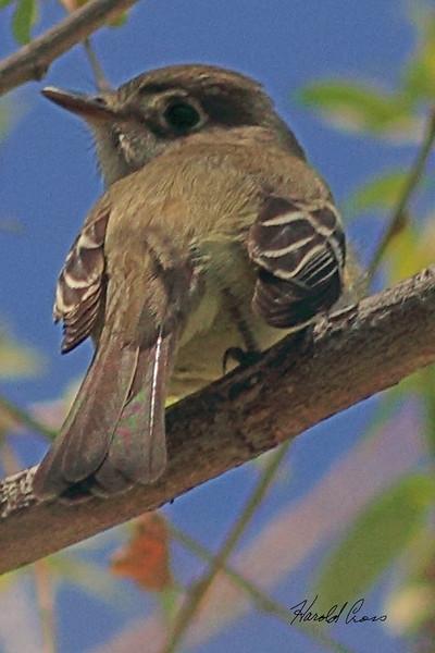 A Cordilleran Flycatcher taken May 13, 2011 near Denver, CO.
