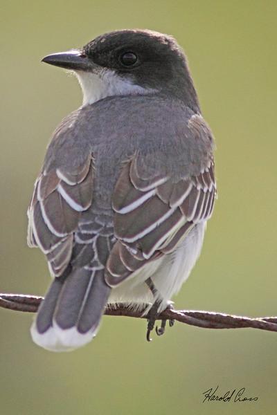 An Eastern Kingbird taken May 25, 2010 near Bozeman, MT.