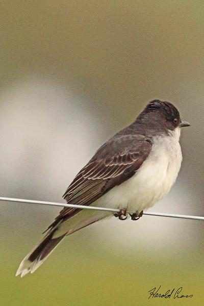 An Eastern Kingbird taken May 26, 2010 near Bozeman, MT.