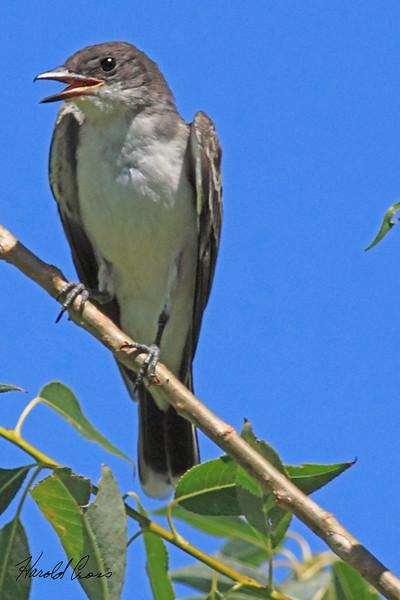 An Eastern Kingbird taken Aug 9, 2010 near Denver, CO.