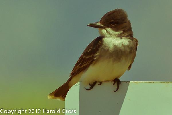 An Eastern Kingbird taken June 12, 2012 near Brigham City, UT.