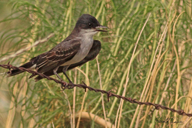 An Eastern Kingbird taken Jun 9, 2010 near Fruita, CO.