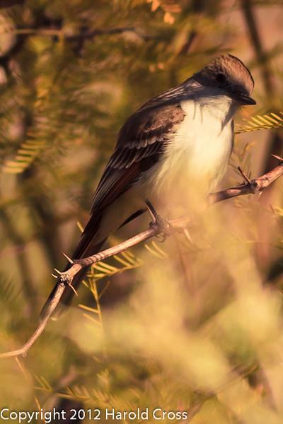 A La Sagra's Flycatcher taken Feb. 18, 2012 in Tucson, AZ.