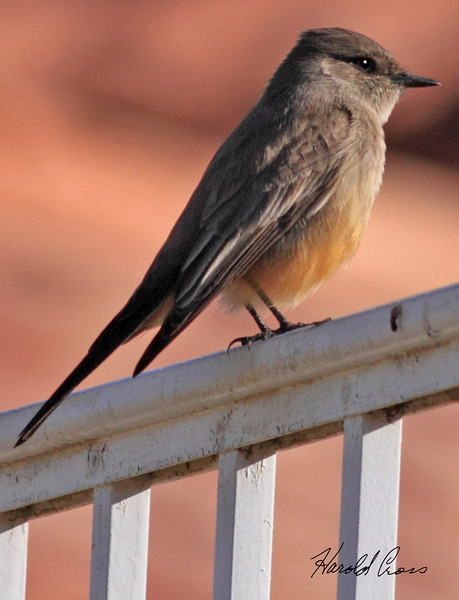 A Say's Phoebe taken Jan 30, 2010 in Phoenix, AZ.