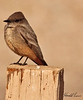 A Say's Phoebe taken Feb 6, 2010 in Gilbert, AZ.