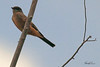 A Say's Phoebe taken Oct 2, 2010 near Portales, NM.