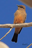 A Say's Phoebe taken Mar. 23, 2011 near Fruita, CO.