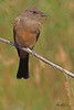 A Say's Phoebe taken Aug 11, 2010 near Denver, CO.