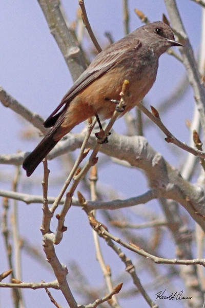 A Say's Phoebe taken Apr 1, 2010 in Grand Junction, CO.