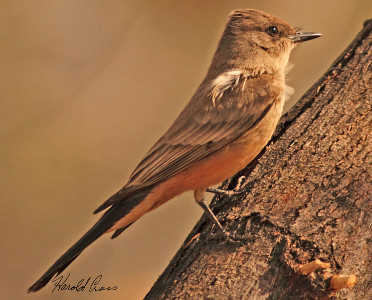 A Say's Phoebe taken Feb 4, 2010 in Gilbert, AZ.