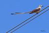 A Scissor-tailed Flycatcher taken July 22, 2010 near Arch, NM.