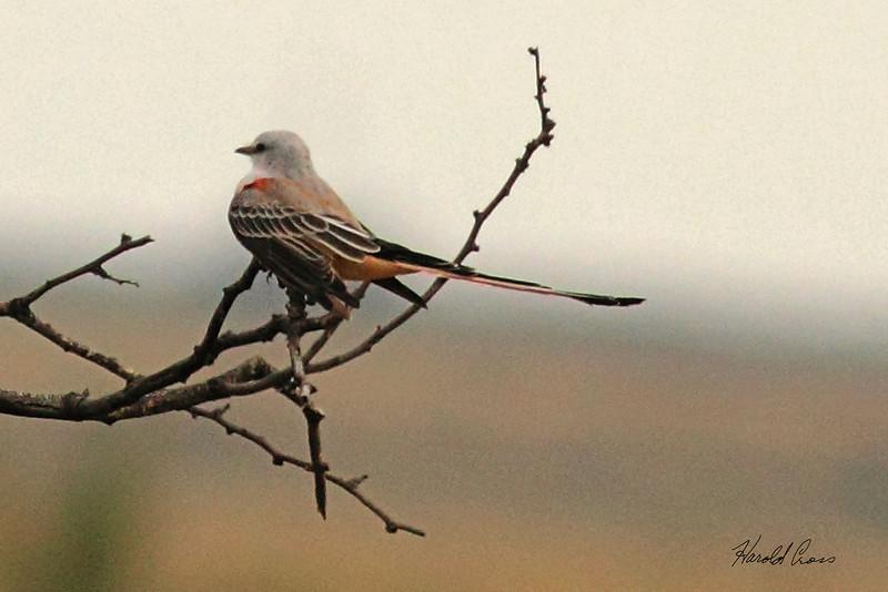 A Scissor-tailed Flycatcher taken Oct. 2, 2010 near Muleshoe,  TX.