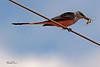 A Scissor-tailed Flycatcher taken Oct 2, 2010 near Portales, NM.