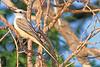A Scissor-tailed Flycatcher taken July 26, 2010 near Portales, NM.