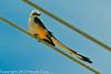A Scissor-tailed Flycatcher taken April 28, 2012 near Portales, NM.