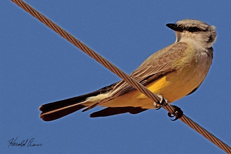 A Western Kingbird taken May 15, 2011 near Portales, NM.