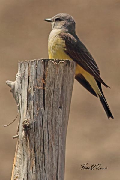 A Western Kingbird taken April 27, 2011 near Fruita, CO.