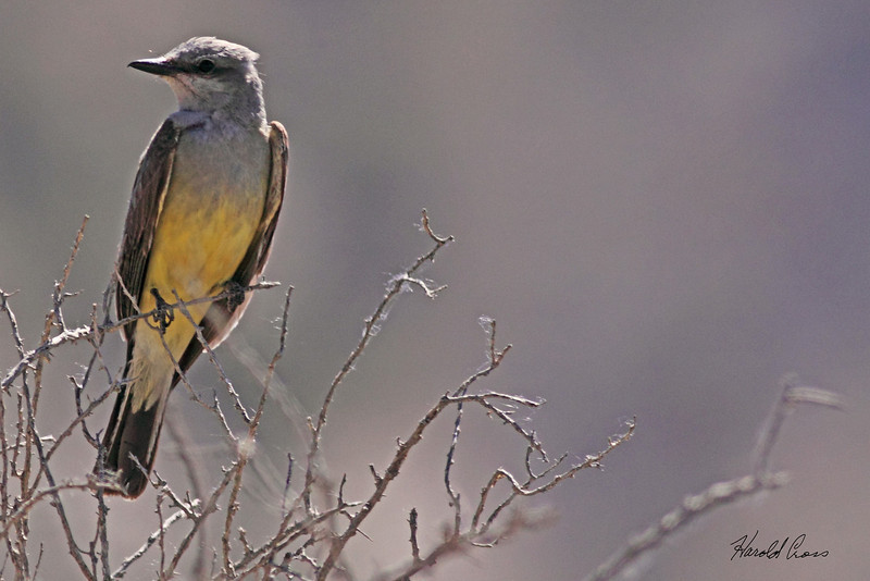 A Western Kingbird taken Jun 22, 2010 near Fruita, CO.