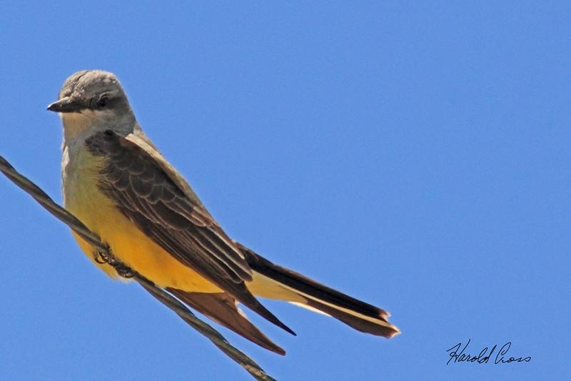 A Western Kingbird taken May 2, 2011 near Fruita, CO.