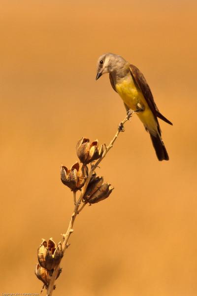 A Western Kingbird taken July 2, 2011 near Portales, NM.