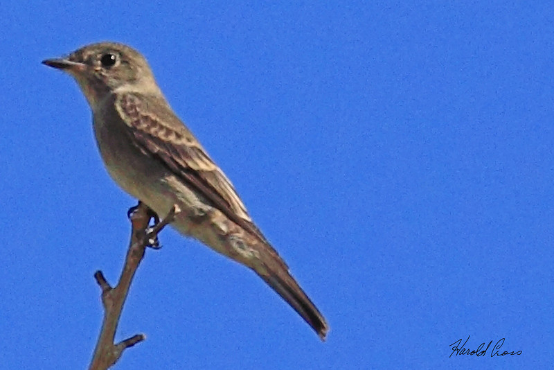 An Willow Flycatcher taken Aug 20, 2010 near Fruita, CO.