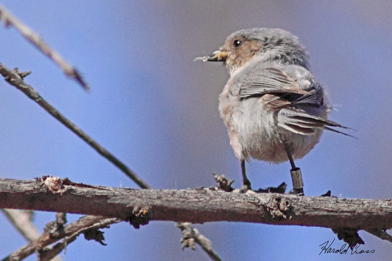 A Bushtit taken Apr 8, 2010 in Grand Junction, CO.