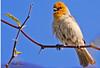 A Verdin taken Feb 14, 2010 in Gilbert, AZ.