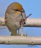 A Verdin taken Feb 8, 2010 in Gilbert, AZ.
