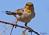 A Verdin taken Feb 17, 2010 in Gilbert, AZ.